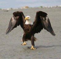 Walking Eagle
